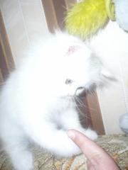 В связи с отъездом продаю персидскую кошечку